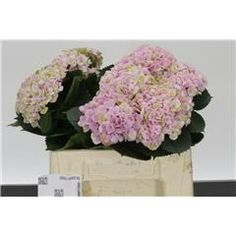 Hydrangea: Magical Revolution    Dutch Farm Direct - Two Days A Week - Wednesday & Friday delivery. We ship To All 50 States!!     Create Your Own Combo Boxes at Farm Level. Wholesale To The Trade Only.   No Sign Up Fees Or Obligations - No Fuel Or Box Charges. Free FedEx   Shipping Is Always Included In The Price!!    Please follow us here on   Facebookhttps://www.facebook.com/ibuyflowersllc/