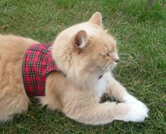 Cat Harness red tartan by ScotsPlace on Etsy, $21.00