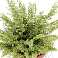 Green Fantasy Fern- One of over 400+ varieties from Exotic Angel Plants®