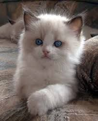 ragdoll cats images - Google Search