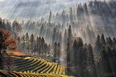 Rays - Sun rays on green tea farmland.