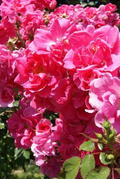 """ Gîtes de France "" (Meiwaton) - Climber, shrub rose - Deep pink - Light fragrance - Meilland, 1995"