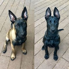 Belgian Malinois and Dutch Shepherd Puppies Dutch Shepherd Puppy, Belgian Shepherd, Shepherd Puppies, Belgian Malinois Training, Black Belgian Malinois, Malinois Puppies For Sale, Belgian Malinois Puppies, Poodle Puppies, Rottweiler