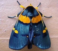 African Peach Moth (Egybollis vaillantina) found south of the Sahara Desert in the Arabian Penninsula, southern Iran and Pakistan Cool Insects, Bugs And Insects, Beautiful Bugs, Beautiful Butterflies, Beautiful Creatures, Animals Beautiful, Cute Moth, Colorful Moths, Cool Bugs