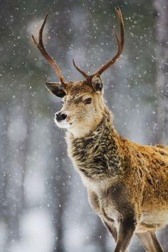 mstrkrftz:  Red Deer by Don Hooper