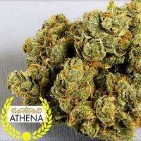 Athena - THC: 23.22%, CBD: 0.55% ::: Athena combines the powers of White Widow X Empress Kush to produce a snowy plant with a pleasantly sweet aroma and a strong, clear high. Good for pain relief, relaxing, and relieving stress.