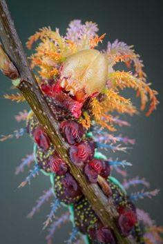 Saturniidae Moth caterpillar. Bizarrely adorable! http://ift.tt/2qpsDZK