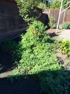 My tomato plant is getting out of hand... #gardening #garden #gardens #DIY #landscaping #home #horticulture #flowers #gardenchat #roses #nature