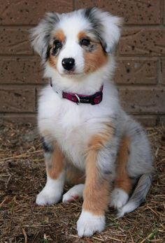 no words to describe that kind of cuteness :) I want an australian shepard!.