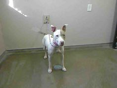 *SASHA - ID#A727057  Shelter staff named me SASHA.  I am a spayed female, tan and white Pit Bull Terrier.  The shelter staff think I am about 3 years old.  I have been at the shelter since Jul 08, 2013.
