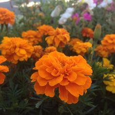 Marigold, Plants, Photography, Photograph, Fotografie, Photoshoot, Plant, Planets, Fotografia