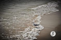 Seagull on the waters edge  http://creativeplatoon.com/free-photos/wp-content/uploads/sites/45/2015/02/Nicholas_Duell_©_2014_Distributed_Creative_Platoon_DSC_0232-1024x682.jpg To download this image please visit: http://creativeplatoon.com/free-photos/2015/nature/seagull-on-the-waters-edge/