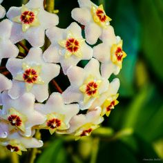 Hoya / Voskovka Nature Photos, Planting, House Plants, Natural Beauty, Rose, Flowers, Plants, Pink, Indoor House Plants