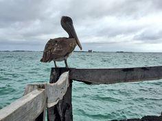 En #Galápagos la fauna forma parte del paisaje y la tienes a muy pocos metros. ➡️ Pelícano color café. #MeetTheWorld