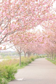 Pink tree path...this just makes me happy :)