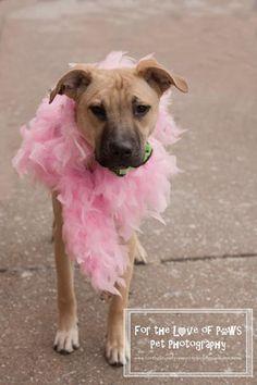 Good Australia Chubby Adorable Dog - 7be41c547d0faf3ef80340e24b1e9d11--princeton-german-shepherd-dogs  Pictures_949617  .jpg