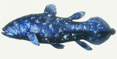 Clade des Amphibiens: Clade des Sarcoptérygien: Clade des Actinistiens (1 seule espèce): Coelacanthe, Latimeria chalumnae