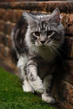 Jarvis, the prowler =^..^=  by dahowes