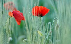 размытость, поле, красные, маки, два цветка, Мак, макро