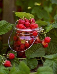 Yummy Raspberries in the summertime...
