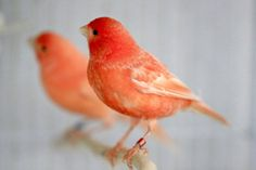 I want a Red Factor Canary DESPERATELY! I am utterly in love with them in every way {wishing on a star}