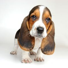 Basset Hound cute dog i think it is so butefull so so so cute and so sweet