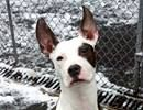 » BABY TO BE DESTROYED Today or Tomorrow, Dec.18'13. TO BE DESTROYED - 12/18/13 MANHATTAN CENTER  My name is RUMBLE aka SPOT. My Animal ID # is A0985979. I am a female white and brown pit bull mix. The shelter thinks I am about 10 MONTHS old.