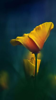 California Poppy. I don't post stills of flowers but there is something about this picture that is soothing