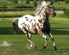 Chestnut Leopard Appaloosa named Ace