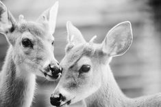 deer-animal