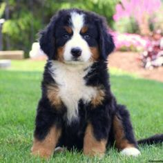 Bernedoodle puppies for sale! These loving, intelligent Standard Bernedoodle puppies are a cross between a Bernese Mountain Dog and a Standard Poodle. Miniature Bernese Mountain Dog, Bernese Mountain Puppy, Bernese Puppy, Large Dog Breeds, Large Dogs, Puppies For Sale, Dogs And Puppies, Doggies, Corgi Puppies