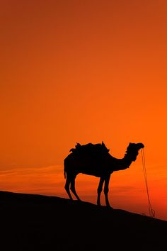 Dramatic sunset scenery on a camel safari located 5km from Sam sand dunes during the annual Jaisalmer Desert Festival, a showcase of Rajasthani folk culture and arts.