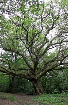 9478284-massive-english-oak-tree-in-a-summer-forest.jpg (261×400)