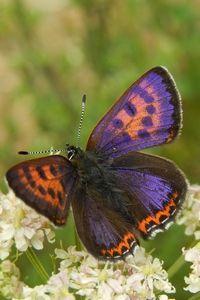 Blauwe vuurvlinder, een bedreigde soort van beekdalen (foto: Kars Veling)