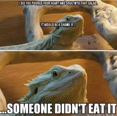 The Bearded Dragon Diet - 7 Top Foods - Exotic Bearded Dragons Bearded Dragon Funny, Bearded Dragon Habitat, Bearded Dragon Cage, Cute Reptiles, Reptiles And Amphibians, Funny Lizards, Cute Funny Animals, Funny Animal Pictures, Funny Pets