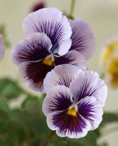 "Pansy ""Avalanche Bronze Lavender ""Flower Seeds hanging garden perennial & biennial plants home and garden Lavender Flowers, My Flower, Flower Art, Flower Power, Beautiful Flowers, Purple Flowers, Cactus Flower, Exotic Flowers, Yellow Roses"