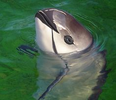 Vaquita. This is the world's smallest dolphin and is from the Northern Gulf of California and Mexico. There are less than 200 vaquita dolphins left in the wild and the population is declining. The immediate threat to the dolphins is the use of gill nets deployed by fishermen.