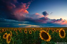 The rain storm reflects against the sunset over the eastern plains of Colorado above the massive Sunflower fields. The color simply exploded with painting the highlights a bright pink in the clouds, creating a stunning scene.  More on my website at www.jdebordphoto.com  ---John