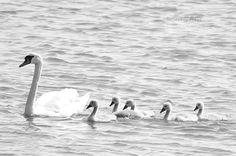 Swan family  http://www.pienilintu.blogspot.fi/2014/11/mustavalkoinen-linky.html