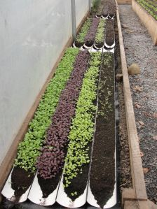 Neven's secret to great flavours, home-grown micro-greens sown in guttering in the polytunnel.