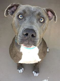 ADOPTABLE pup at Riverside County Shelter in CALIFORNIA I am a neutered male, blue & white Pit Bull Terrier about 2 years old. I have been at the shelter since Aug 06, 2015. Call: Riverside County Animal Control - (951) 358-7387 ID # A1219480 https://www.facebook.com/1403036200019402/photos/a.1403050556684633.1073741828.1403036200019402/1471649583158063/?type=1