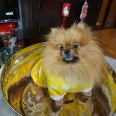 #coolangel369 #방짜유기 #pomeraniandogs #igclubdogs #dog_features #my_loving_pet #excellent_dogs #excellent_puppies #iganimal_snaps #topdogphoto #poshpamperedpets #petfancy #pommylovers #instagrampetphotos #pomeranianloverpost  #poshpamperedpets #thedailypompom #bestwoof #weeklyfluff #dogsofinstagram #dogsofinstaworld #mydogiscutest #cutepetclub #sendadogphoto #animaladdicts #lacyandpaws #pomeranianworld #animaldisplay #doglovers #igcutest_animals #pomeranianpage by imddyo