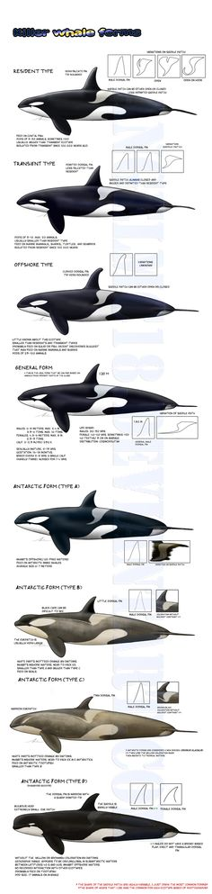 This is so interesting! I think the Antarctic orcas are probably actually a different species of orca -Killer whale forms- UPDATED by on Orcas, Le Morse, Save The Whales, Marine Biology, Ocean Creatures, Mundo Animal, Killer Whales, Whale Watching, Sea World