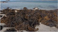 Seaweed could be key to weight loss, study suggests