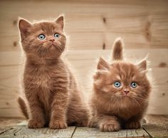 two brown british kittens - two brown british kittens on wooden background