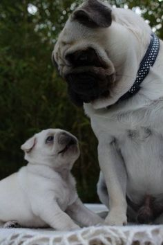 .I just can't stand it any more . I miss our Yoda and our little pug . They lived a long wonderful life and I'm so so grateful for that but I guess I just thought I would always have at least one pug in my life . They have gotten so expensive . My heart aches for a pug of our own to love !