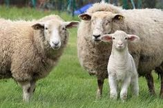 proverbs and prognostics relating to animal behavior from The Old Farmer's Almanac Sheep Farm, Old Farmers Almanac, Wool Dryer Balls, Fabric Animals, Family Outing, Black Labrador, Cattle, Baby Animals, Animals