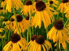 Echinacea Paradoxa or Ozark Yellow Coneflower
