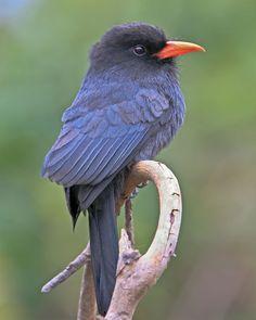 Black-fronted Nun Bird, Pantanal. Jose E Hernandez World