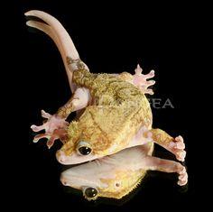 Piebald Crested Gecko 4